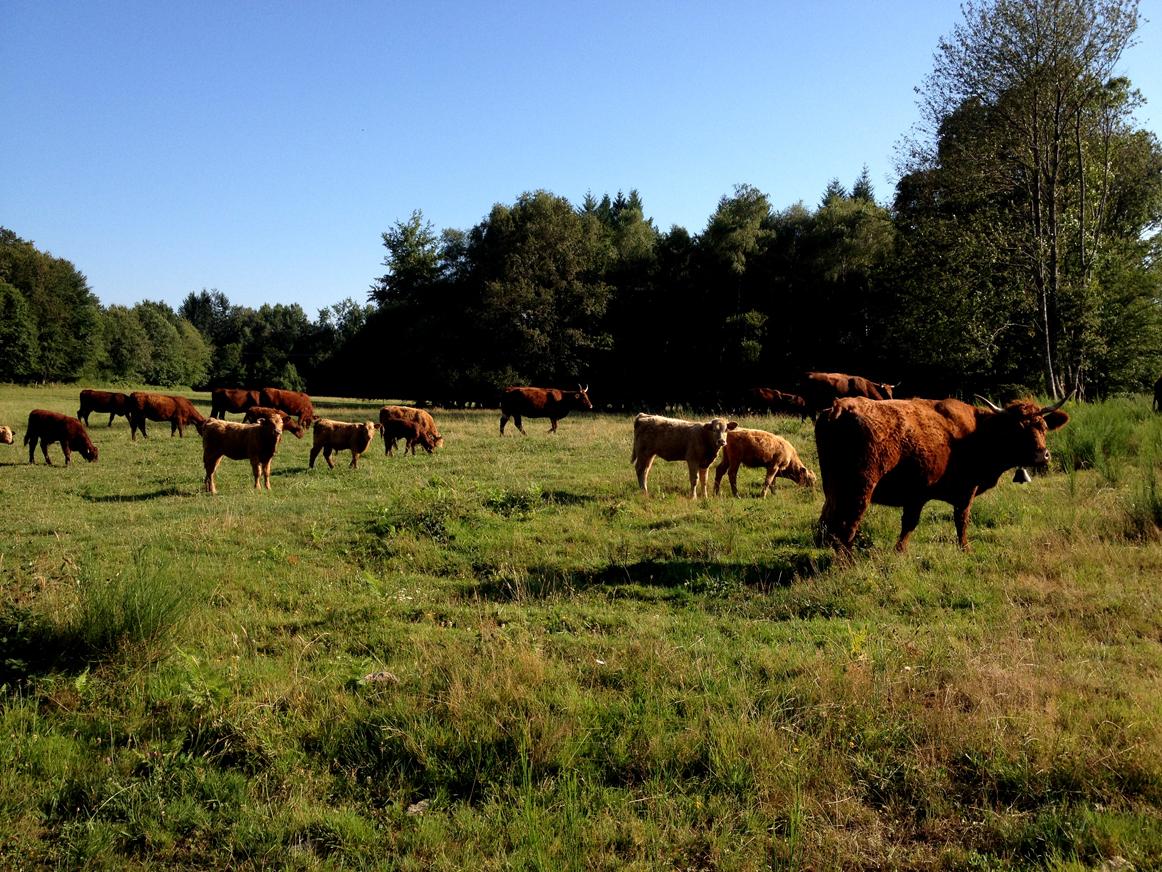 troupeau de vaches limousines